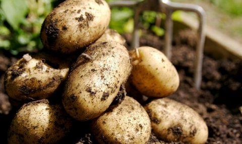 Ўзбекистонга Қозоғистондан 79 500 тонна картошка экспорт қилинди.