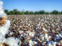 Ўзбекистон пахта етиштиришда Better Cotton стандартини жорий этади